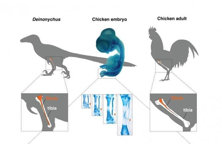 Jurassic Park'a doğru ilk adımlar: İşte dinozor bacaklı tavuk