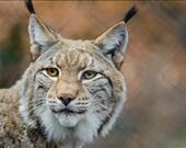 Eski internet tarayıcılarından biri olan Lynx, metin tabanlı bir tarayıcı. Klavyenin yön tuşları ile gezilen Lynx'te resim, video, JavaScript veya cookie bulunmuyor. İnternet siteleri sadece metinden oluşacak şekilde görüntüleniyor.