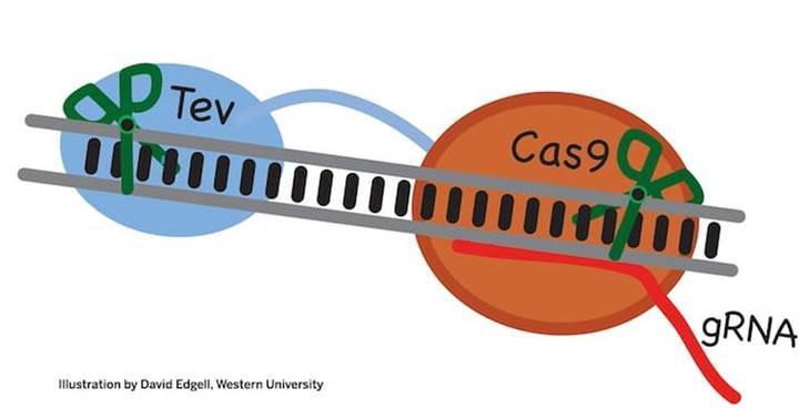 Yeni nesil CRISPR ile gen düzenleme daha iyi hale gelecek