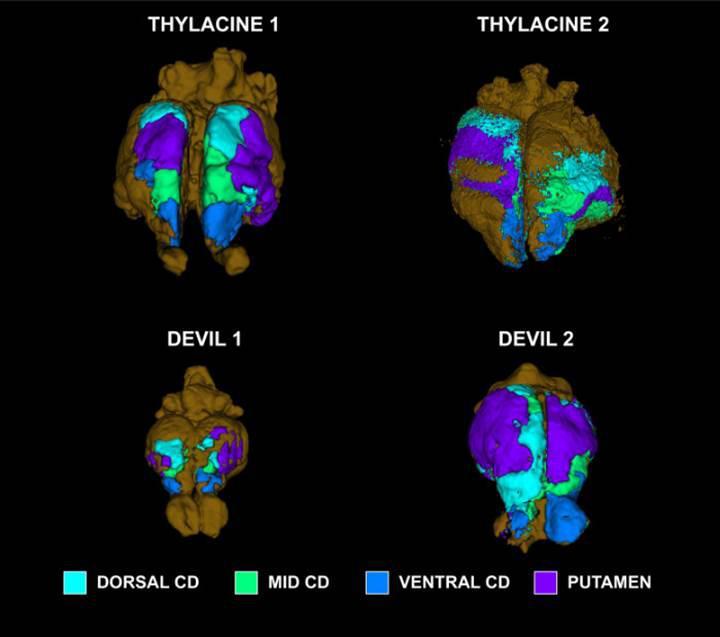 Nesli tükenmiş olan Tazmanya kaplanının beyni incelendi