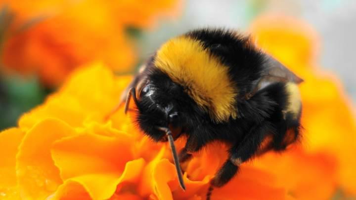 Bilim insanları arılara futbol oynamayı öğretti