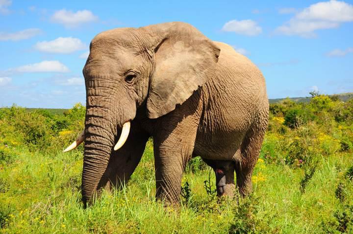 Akıllı saatler, fillerin uyku düzenini incelemek için kullanılıyor