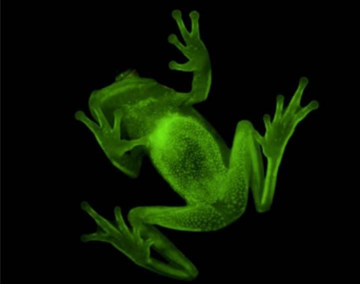 Morötesi ışıkta parlayan kurbağa türü keşfedildi