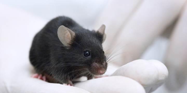 Araştırmacılar beyni gençleştirmeyi başardı