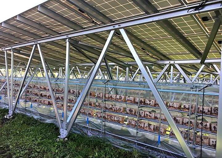 Japonya tarım arazilerini mantar ve güneş enerjisi ile değerlendirecek
