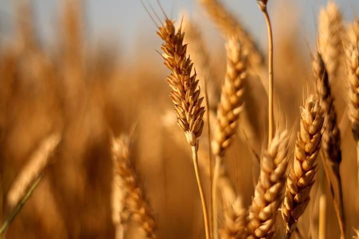 Gen düzenleme sayesinde glütensiz buğday geliştirildi