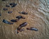 Serengeti Milli Parkı'nda su aygırları.  Sanatçı: yannick68