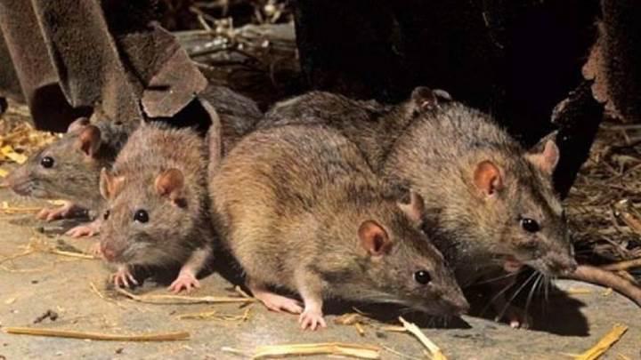 Felçli fareleri yürütebilen ilaç geliştirildi