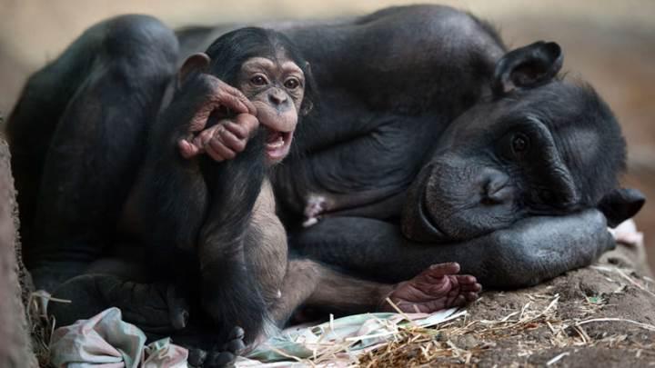 İnsanlar gibi oyun oynayan şempanzeler kayda alındı