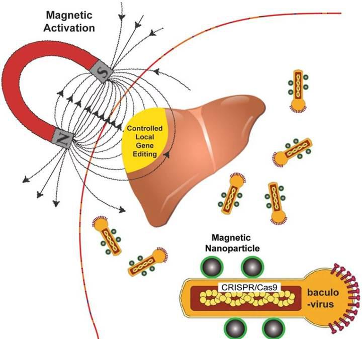 Güve virüsleri, manyetik parçacıklar ve gen düzenleme, tedavide nasıl etkili olur?