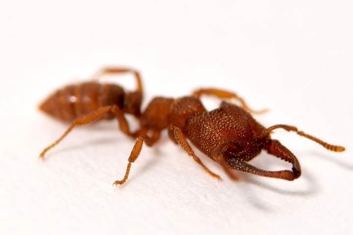 Bu karınca türü çenesini 324 km/h hızla kapatabiliyor