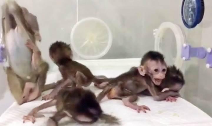 Genleri düzenlenen maymun, günlük vücut ritmi araştırması kapsamında klonlandı