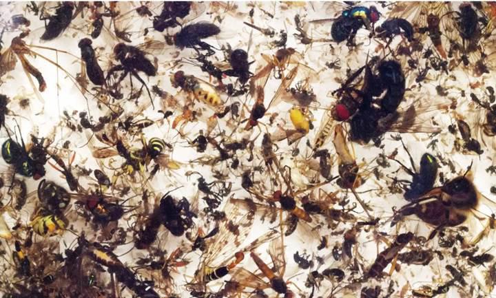 Bilim insanlarına göre böcekler, 100 yıl içinde yok olabilir