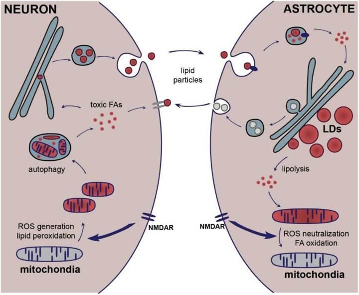 Astrositler nöronları toksik etkenlere karşı koruyor