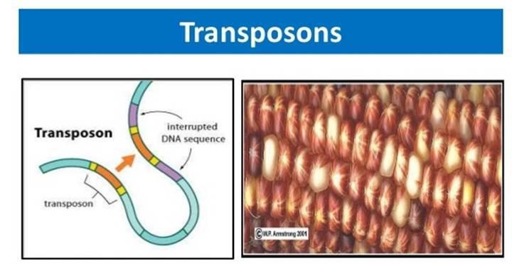 CRISPR yöntemi transpozonlar ile geliştiriliyor