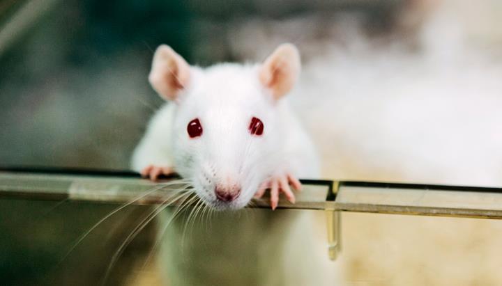 Alzheimer araştırmaları için yeni fare modelleri üretiliyor