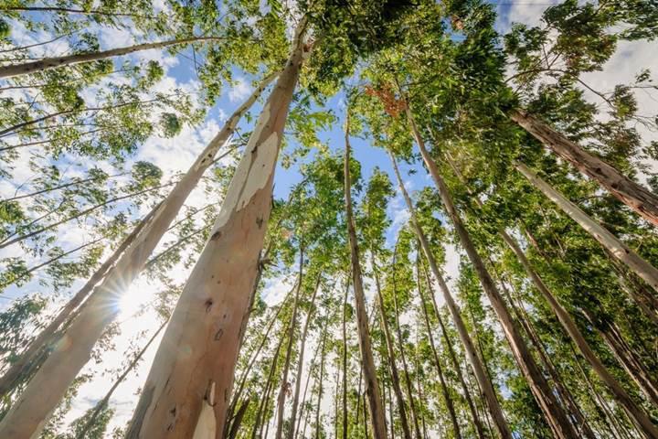 Okaliptüs ağacı kullanılarak üretilen grafen, maliyetleri 200 kata kadar düşürebilir