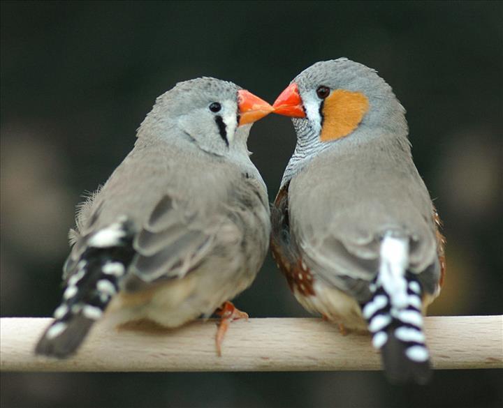 Kuşlara hafızasal bilgiler öğretildi