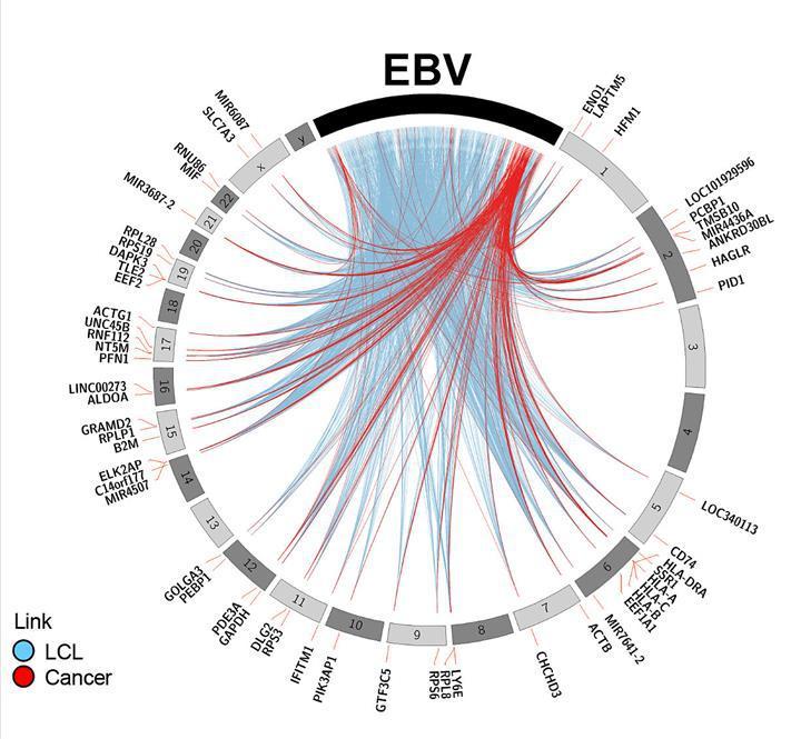 EBV ile ilgili yeni mekanizma keşfedildi