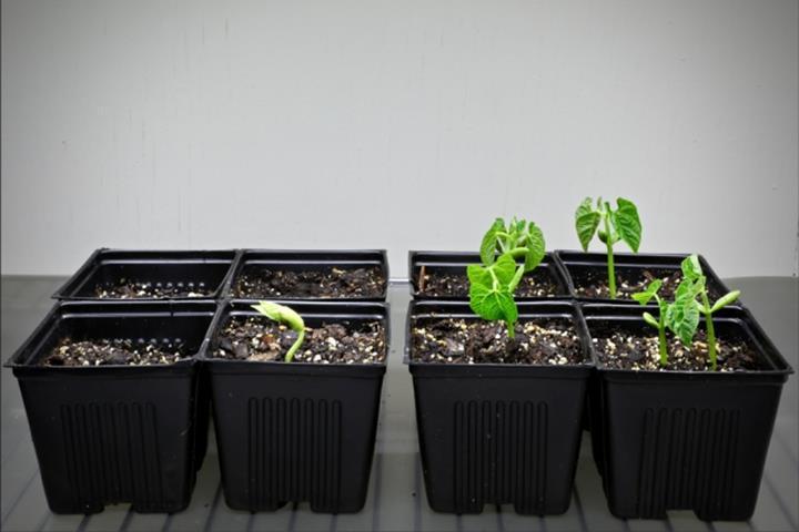 Tohumların tuz oranı yüksek topraklarda dahi gelişmesini sağlayan ipek kılıf geliştirildi