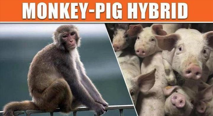 Domuz ve maymun karışımı canlılar üretildi
