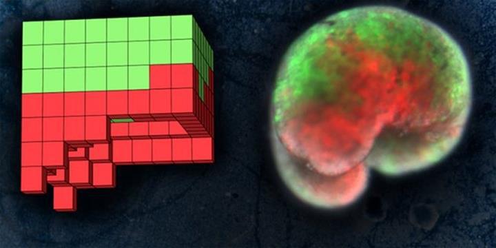 Yeni bir yaşam formu olan ve canlı hücrelerden üretilen ilk robot: Xenobot