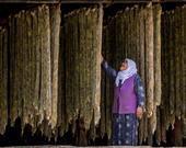 Kazım Yeşilyurt, Tütün asma / Uşak
