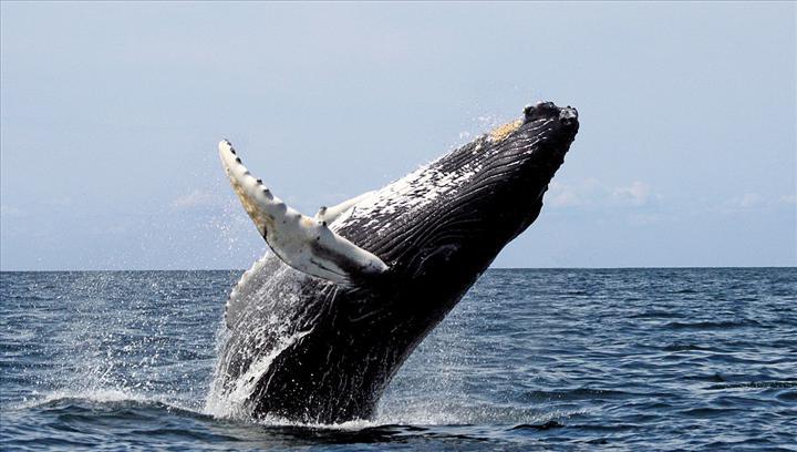 Yeni bir araştırmaya göre balinalar, deri değiştirmek için göç ediyor