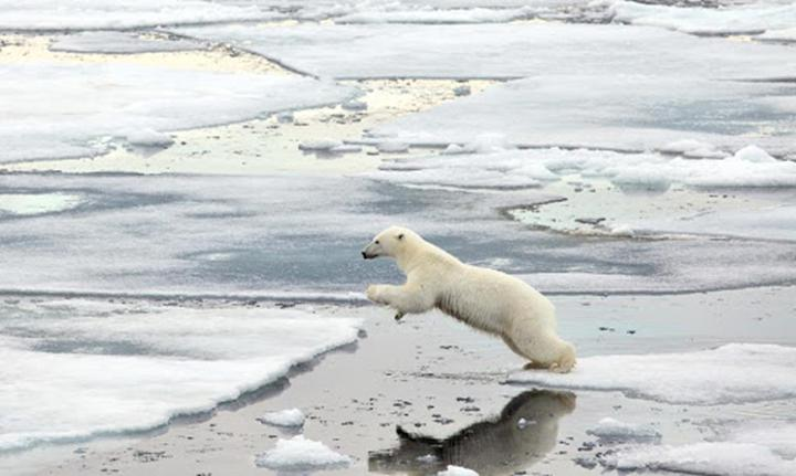 İklim değişikliği ve fosil yakıt ticareti, kutup ayılarını yamyamlığa zorluyor