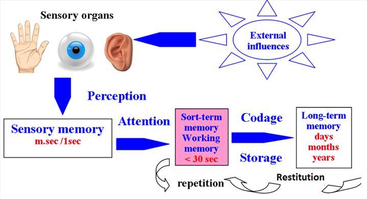 Asetilkolin bağımlı M1 reseptör eksitasyonu hafızanın temelini oluşturuyor