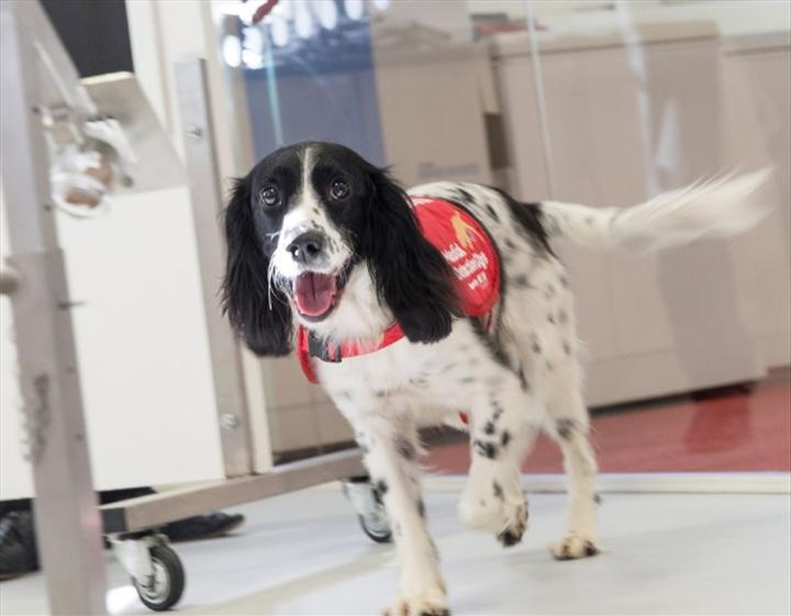 Koronavirüs teşhisi için köpek eğitilecek