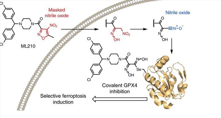 Ferroptosis basamaklarında görev alan 2 yeni molekül keşfedildi