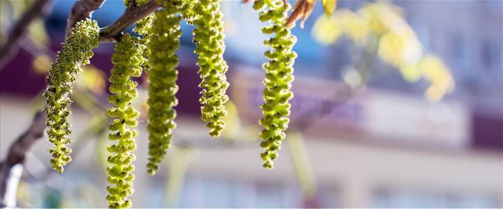 Nazal sürüntü örnekleri alerji testlerinin yerini alabilir