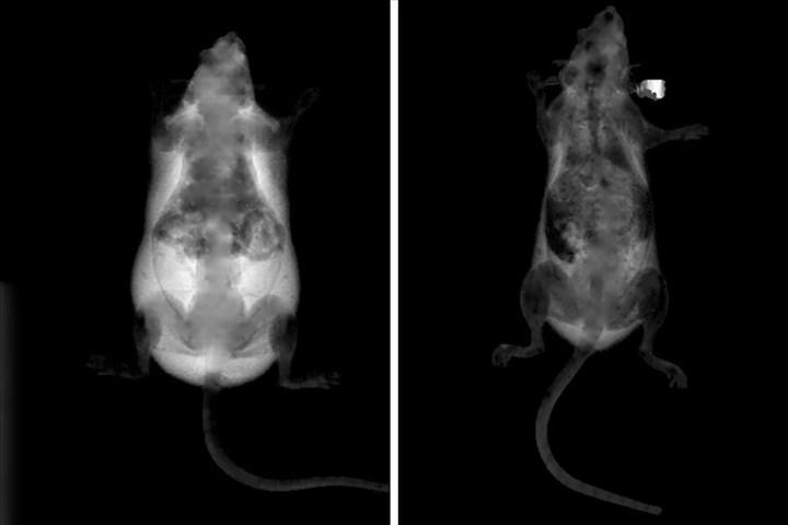 Gen mutasyonu ile farelerde obezite gelişimi önlendi