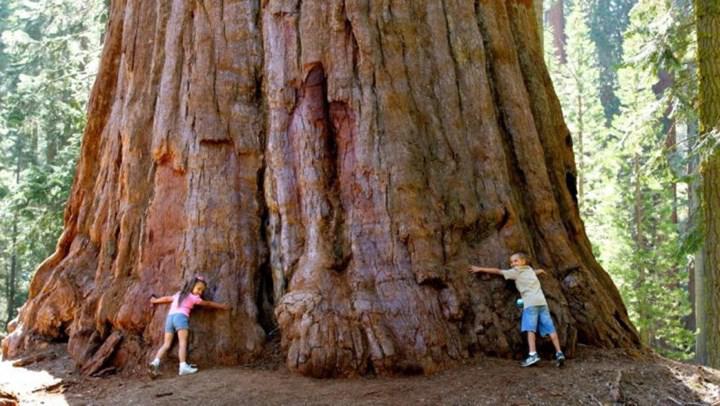 İklim değişikliği, ormanlardaki yaşlı ağaçların yok olmasına sebep oluyor