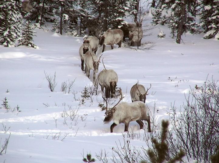 Küresel ısınma, soğuk iklimlerde yaşayan canlıların bulaşıcı hastalığa yakalanma ihtimalini artırıyor