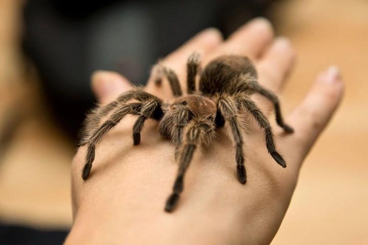 Yakın gelecekte tarantula zehri kronik ağrı tedavisinde kullanılabilir