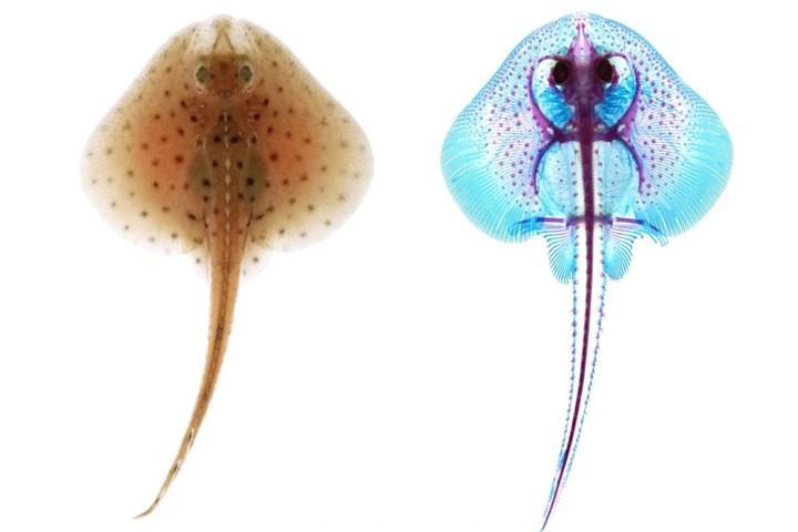 Araştırmalar balıkların yüzgeçlerinin brankial kemerlerden evrimleştiğini destekliyor