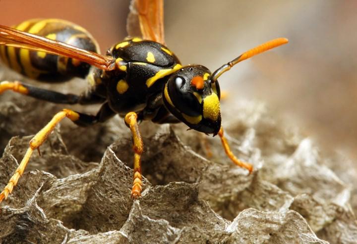 Yaban arılarından elde edilen peptid molekülü bakteri enfeksiyonlarında kullanılabilir