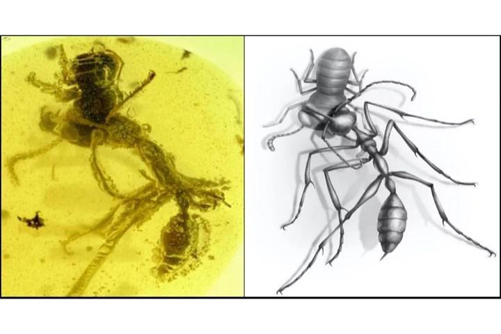 99 milyon yıllık fosil karıncaların evrimine ışık tutabilir