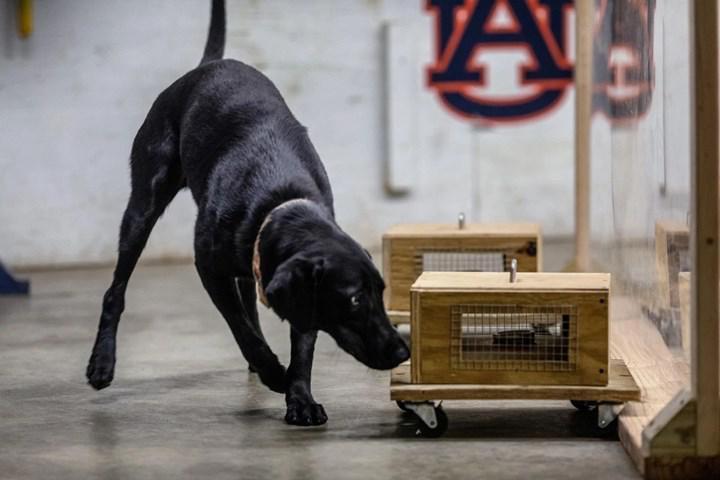 K9 köpeklerinin eğitimini güvenli kılacak yöntem geliştirildi
