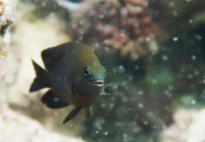 Damsel balıklarının karidesleri evcilleştirdiği tespit edildi