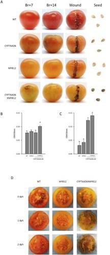 genetigi degistirilmis domatesler parkinson tedavisi icin umut olabilir127765 1 - Genetiği değiştirilmiş domatesler Parkinson tedavisi için umut olabilir