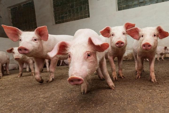 FDA kurumu tarihte ilk defa genetiği değiştirilmiş domuzların kullanımına onay verdi
