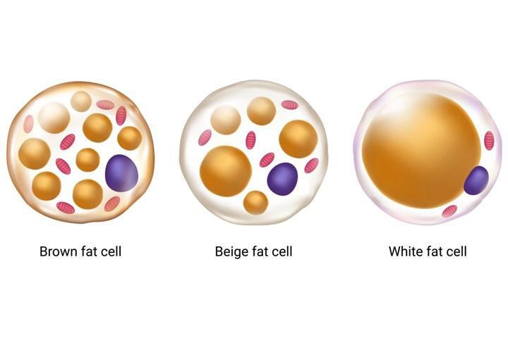 Kahverengi yağ dokusunun metabolik yararları incelendi