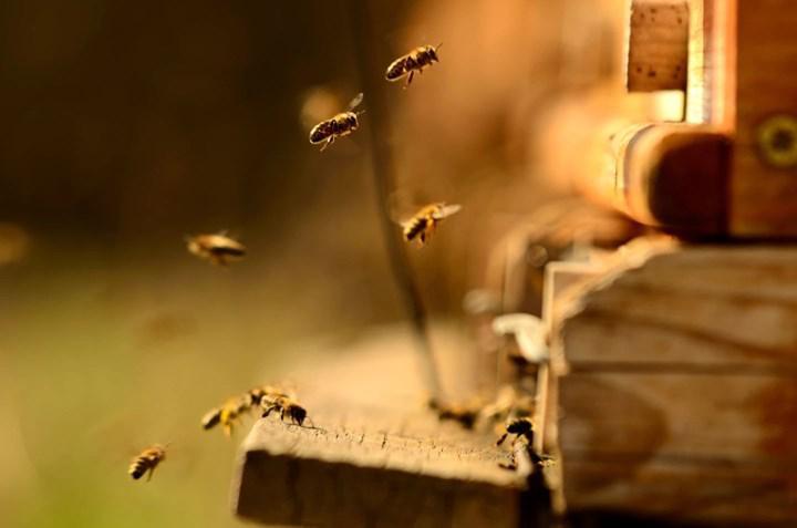 Böcek ilaçları arıların uyku davranışlarını değiştirebilir