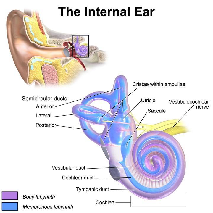 Vertigo tedavisinde kullanılabilecek iç kulak implantı geliştirildi