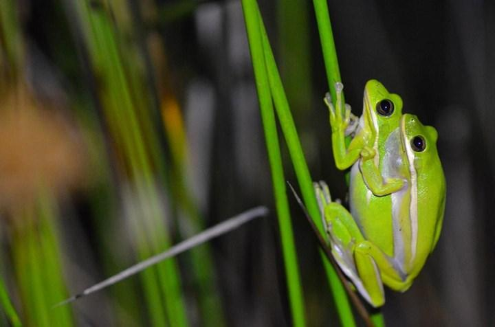 Araştırmalara göre dişi kurbağalar ortamdaki gürültüyü engelleyebiliyor