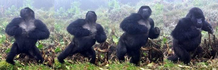 Gorillerin göğüs dövme alışkanlıkları incelendi
