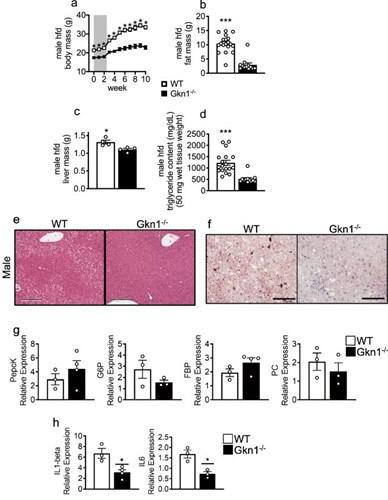 Mideden salgılanan Gastrokine-1 adlı protein obezitede etkili olabilir
